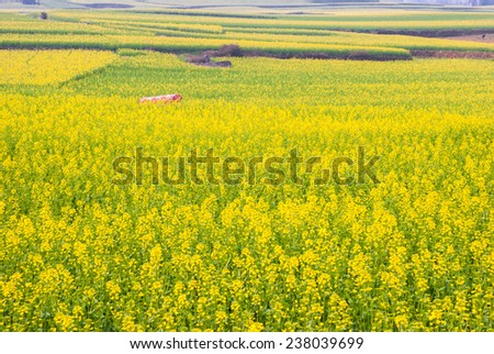 Yellow rapeseed flower field in Luoping, China - stock photo