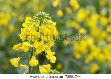 yellow rapeseed flower in bloom during spring - stock photo