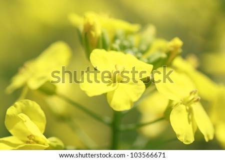 yellow rapeseed flower in bloom during spring  (Morioka, Iwate) - stock photo