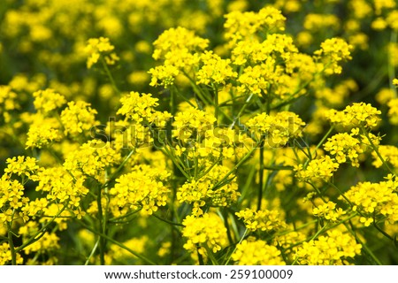 Yellow rapeseed flowers (Brassica napus). Close up. - stock photo