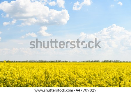 Yellow Rapeseed Flowers Field With Blue Sky - stock photo