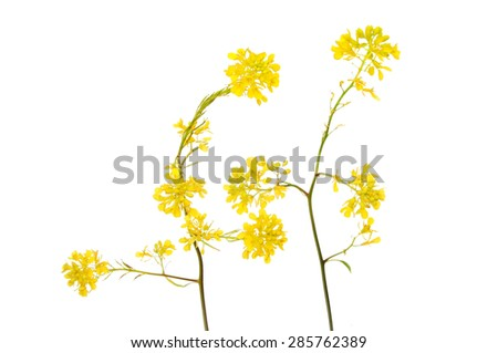 Yellow Rapeseed flowers isolated against white - stock photo