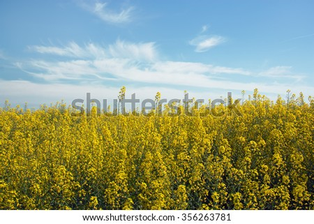 Yellow rapeseed flowers on field with blue sky and clouds, - stock photo
