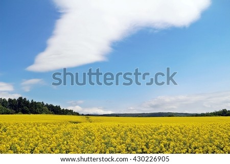 Yellow rapeseed or canola field under blue sky and big cloud - stock photo