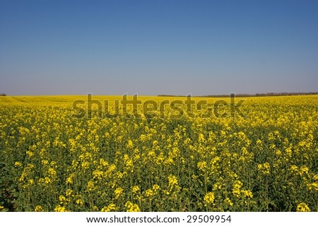 Yellow rapeseed plants on an agricultural field