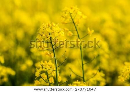 Yellow rapse field in Norway in summer - stock photo