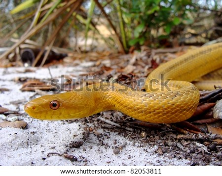 Yellow Rat Snake, a large and bright yellow striped snake of the southeastern United States - stock photo