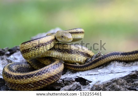 Yellow rat snake (Elaphe obsoleta quadrivittata)