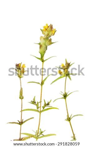 Yellow rattle, Rhinanthus minor, wild flowers and foliage isolated against white - stock photo