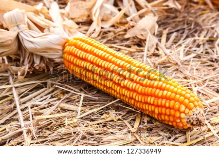 Yellow raw corn on dry straw