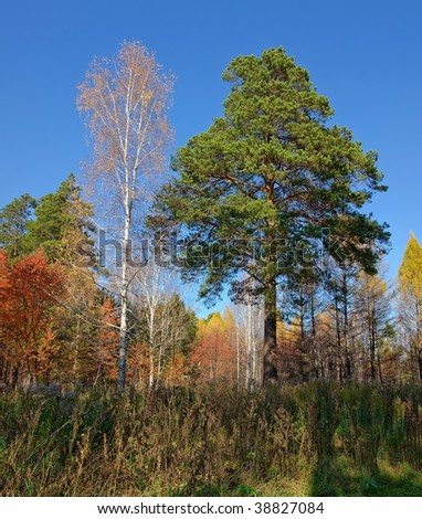 Yellow, red and green trees in forest at autumn. Pine and birch. - stock photo
