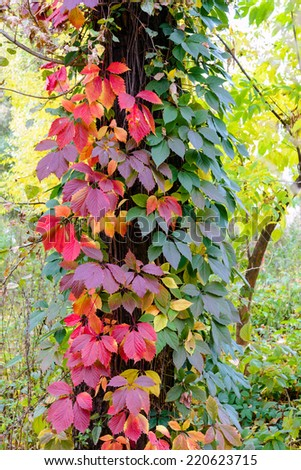 Yellow, red and green Virginia Creeper leaves on a maple trunk in autumn - stock photo