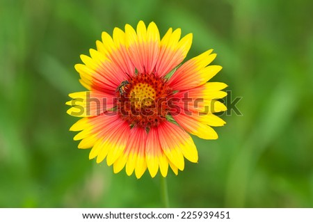 yellow-red field flower with an indistinct background and a bee - stock photo