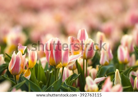 Yellow red flamed tulip in flowerbed in Springtime in the Netherlands. - stock photo