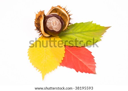 Yellow, red, green leaves with chestnut