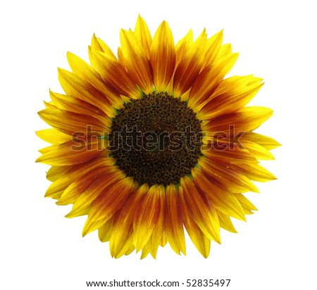 yellow-red sunflower isolated on white