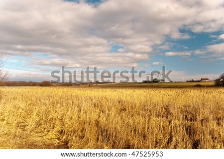 Yellow reed and white clouds with blue sky in February