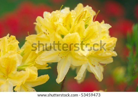 Yellow rhododendron blossom, shallow dof, focus on front blossom - stock photo
