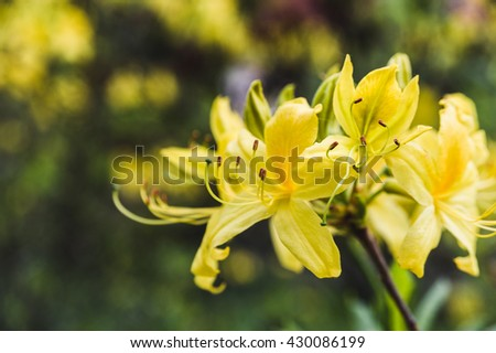 yellow rhododendron of flowers against the backdrop of lush greenery - stock photo