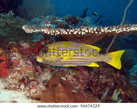 yellow ribbon sweetlips (Plectorhinchus polytaenia) under table coral in Indo-Pacific ocean - stock photo