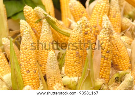 yellow ripe corn collected - stock photo