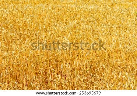 yellow ripe harvest field. soft focus - stock photo
