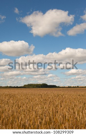 Yellow ripe wheat field under blue field.