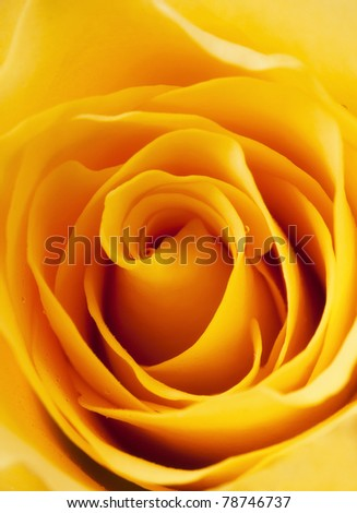 yellow rose - stock photo