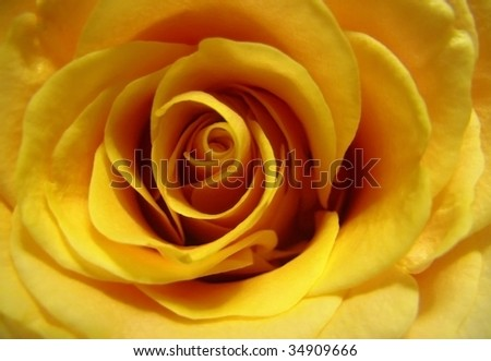 Yellow Rose: A Symbol Of Friendship - stock photo
