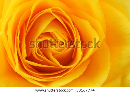 Yellow rose background - stock photo
