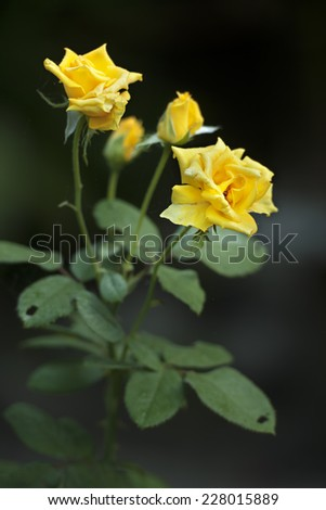 yellow rose  blooming colorful in garden  - stock photo