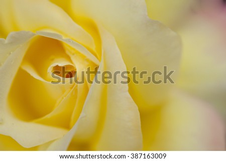 yellow rose blurry background