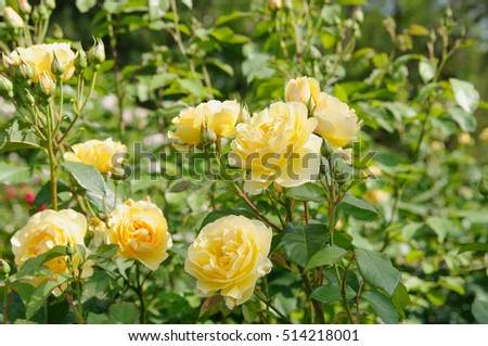 yellow rose bush and flowers, local focus, shallow DOF