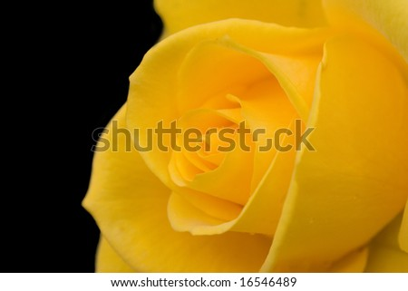 Yellow rose close-up - stock photo