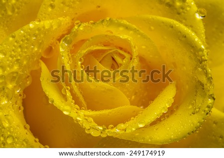 Yellow rose close-up, macro with water drops. - stock photo