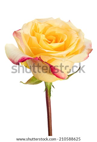 Yellow rose closeup isolated on background - stock photo