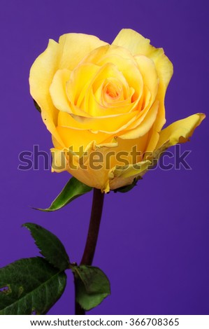 Yellow rose closeup isolated over a purple background - stock photo