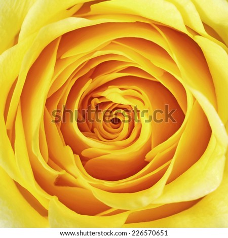 Yellow rose flower as close up - stock photo