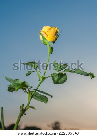 Yellow Rose Flower in Dawn Sky - stock photo