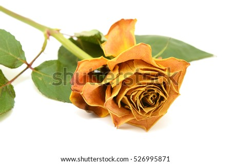 Yellow rose flower with curling, fading petals on a white background