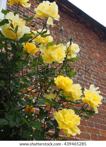 Yellow Rose Flowering against a Wall in Southwold - stock photo