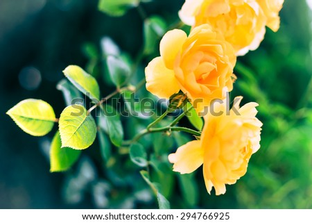 Yellow rose illuminated from bottom with blurred background - stock photo