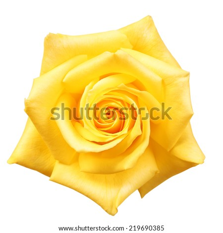 Yellow Rose isolated - stock photo
