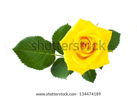 yellow rose isolated on a white background - stock photo