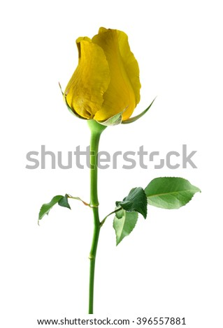 Yellow rose isolated on white background.