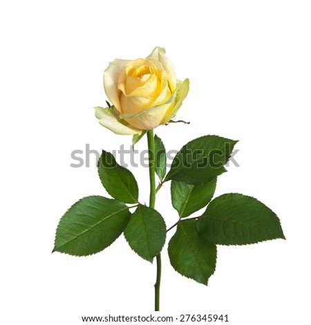 yellow rose on a stem with leaves isolated on white background - stock photo