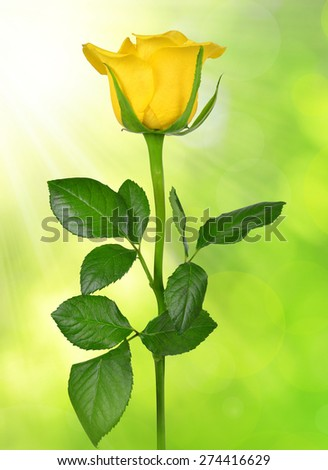Yellow rose on green background - stock photo