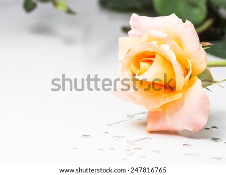 yellow rose on the table