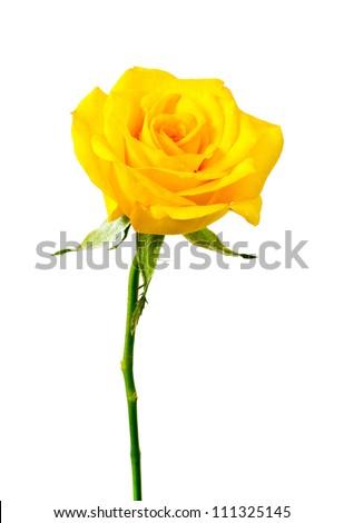 yellow rose on white background. - stock photo