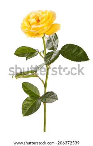 Yellow rose on white background - stock photo
